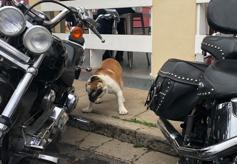 Thomas The Bulldog